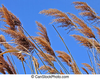 Reeds blow in the wind against bright blue sky