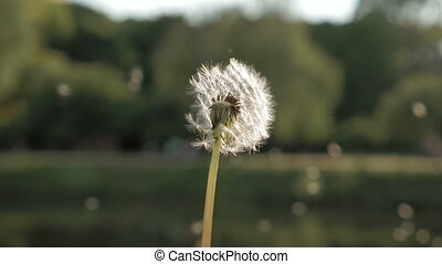 Blowing away dandelion seeds bright summer day - Blowing...