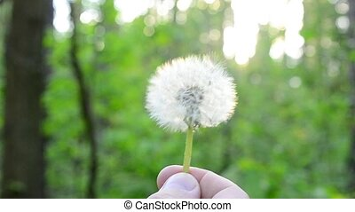 Blowing away of dandelion blowball on green blurred...