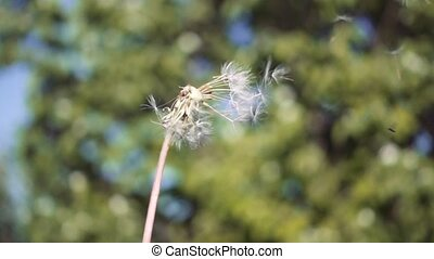 Blowing Dandelion Seeds. Flying dandelion seeds against the...