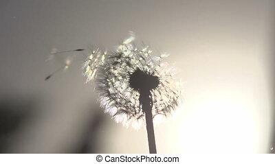 Blowing Dandelion Seeds - Flying dandelion seeds against the...