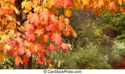 blowing, leaves, дерево, t, падать, кленовый
