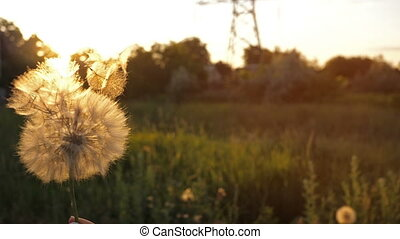 Blowing on a Dandelion - Blowing on dandelion seeds at...