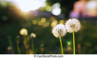 Blowing on a Dandelion. Closeup shot. - An unrecognizable...