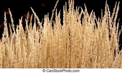 Blowing Ornamental Grass Loop - Beautiful loop features...
