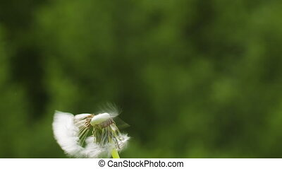 blowing white dandelion on sunny day slowmo, 180fps prores ...