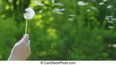 blowing white dandelion on sunny day slowmo, 4k prores ...