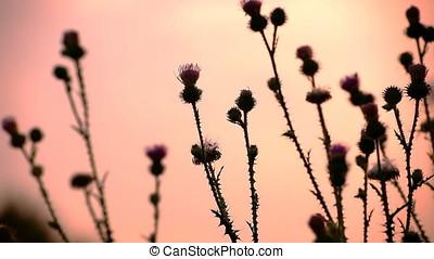 Blown by Wind Thistle Vegetation Sunset Backlit - Sunset...