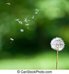 Blown dandelion - A wind blown dandelion against a green...