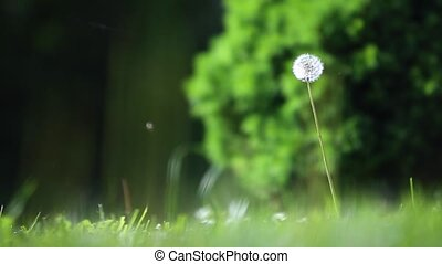 Blown dandelion on green backgrond.