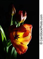 blown red tulip on a dark