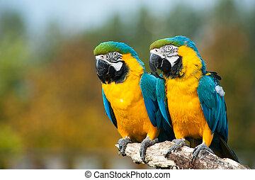 blu, ararauna), giallo, (ara, macaws
