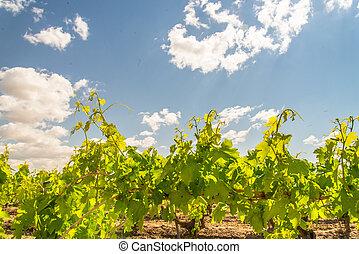 blu, cime, uva, viti, cielo