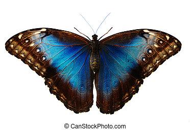 blu, farfalla