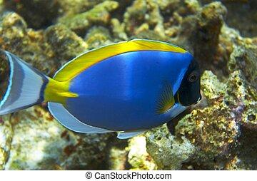 blu,  fish