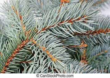 blu, fresco, abete rosso, ramo, fondo