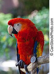 blu, macao, rosso, pappagallo, uccello