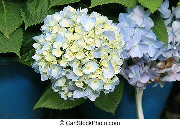 blu, ortensia,  flora