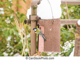 Blu Tit Bird at a Nest Box