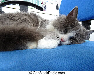 blu, ufficio, lanuginoso, in pausa, gattino, sedia