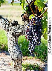 blu, uva, aquitaine, francia, bordeaux, regione