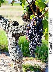 blu, uva, in, bordeaux, regione, aquitaine, francia