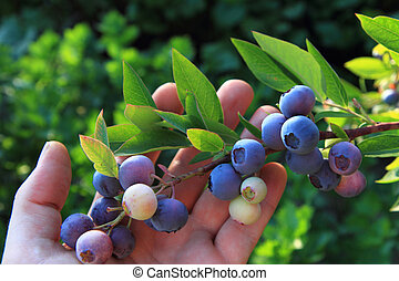 bluberries in the human hand
