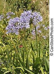 blue agapanthus in a garden