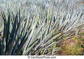 Blue Agave Closeup