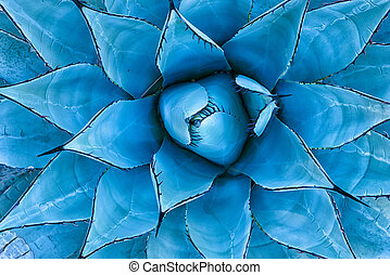Blue Agave Plant - Closeup view of a blue agave plant as ...