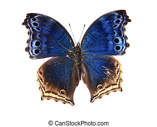 Blue and brown butterfly isolated on a white background