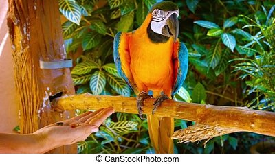 Blue and Gold Macaw Accepting Food from Tourist's Open Hand
