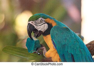 Blue and gold macaw bird Ara ararauna perches in captivity ...