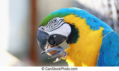 Blue and Gold Macaw Cracking Walnut