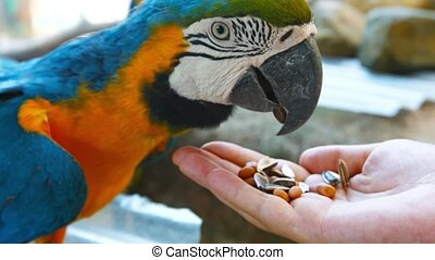 Blue and Gold Macaw, Eating Birdseed from a Tourists Hand -...