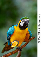 Blue and Gold Macaw eats orange