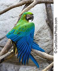 """Blue and Gold macaw, Scientific name """"Ara ararauna"""" bird"""