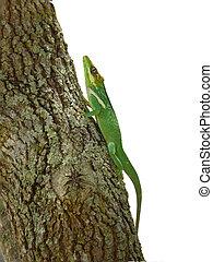 Blue and green lizard (lacerta viridis)