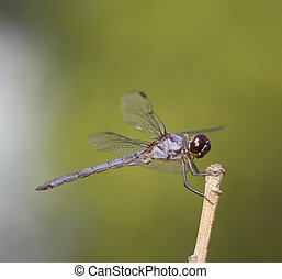 Blue and grey dragonfly