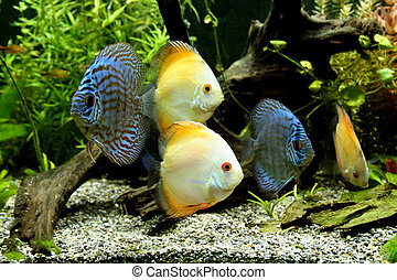 Blue and Orange Discus Aquarium Fish