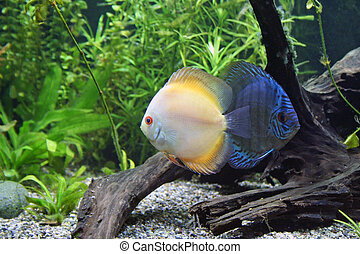 Blue and Orange Discus Aquarium Fish - Blue and Orange...