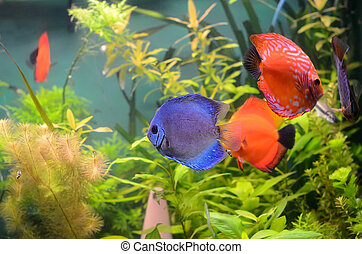 Blue and orange discus fish - Blue and orange discus fish in...