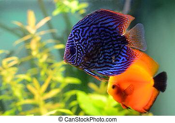 Blue and orange discus fish in the aquarium