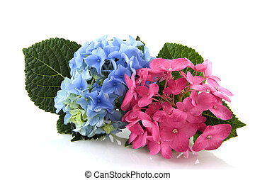 Blue and pink Hydrangea - Blue and Pink Hydrangea isolated...
