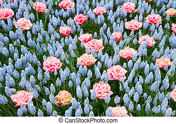 Blue and pink spring  flowerbed