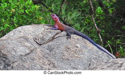 blue and red Agama - African Red-headed male of Agama Agama...