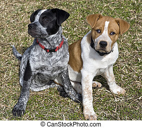 Blue and Red Heeler Pups