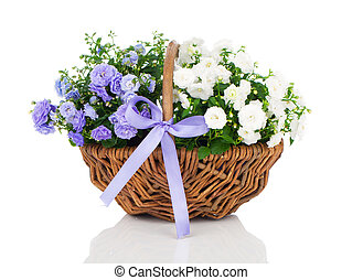 blue and white Campanula terry flowers in the wicker basket,...