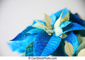 Blue and white Christmas poinsettia