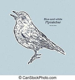 Blue-and-white Flycatcher (Cyanoptila cyanomelana), hand draw sketch vector.